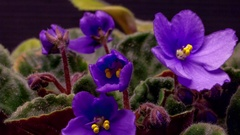 Time lapse African Violet blooming Stock Footage