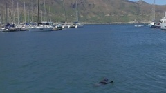 Seal rolls in harbour waters playfully Stock Footage