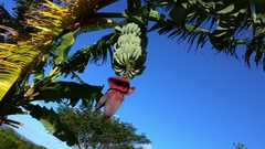 Banana Flower on Plant Stock Footage