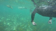 Tourist snorkels with seals Stock Footage