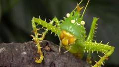 Close-up of a thorny devil katydid (Panacanthus cuspidatus) Stock Footage