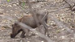 Warthog eats dry leaves Stock Footage