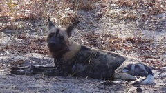 Painted dog sniffs the air Stock Footage
