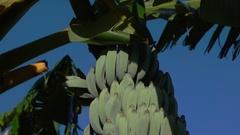 Banana Flower on Plant Stock Footage