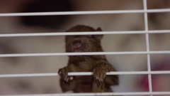Baby brown squirrel climbs bars in cage Stock Footage