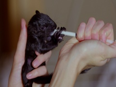 Feeding baby black squirrel formula by hand on neutral background. Stock Footage