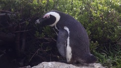 Calm penguin sits on rock Stock Footage