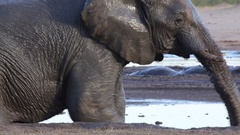 Muddy elephant steps out and shakes off Stock Footage