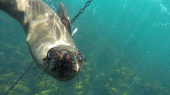 Seal swims playfully around buoy chain Stock Footage
