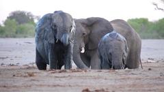 Three elephants are playful in mud bath Stock Footage