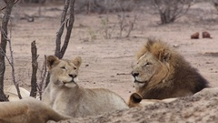 Male lion with pride Stock Footage