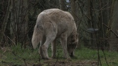 Gray Wolf leaving Scent in Forest Stock Footage