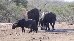 Buffalo gets scared away by elephant Stock Footage