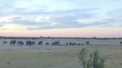 Stampede runs to watering hole at dusk Stock Footage