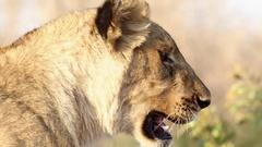 Alert lion scanning Stock Footage