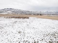 Aerial amazing shot of a beautiful herd of elk grazing in field Stock Footage