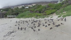 Colony of penguins on cliff beach Stock Footage