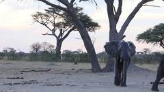 One wet elephant walks at dusk Stock Footage