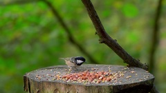 COAL TIT MARSH TITS BLUE FORGE VALLEY EAST AYTON Stock Footage