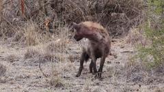 Panting hyena looks around Stock Footage