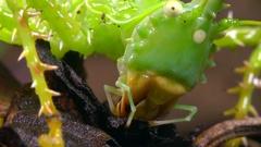 Thorny devil katydid (Panacanthus cuspidatus) Stock Footage
