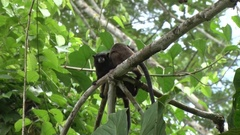 Black-mantle Tamarins grooming each other in the rainforest Stock Footage