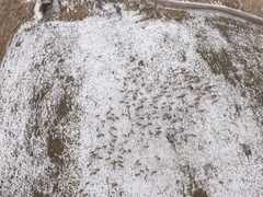 Aerial shot of a large herd of elk grazing in a field Stock Footage
