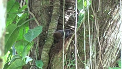 Black-mantle Tamarins playing in the tree in the rainforest Stock Footage