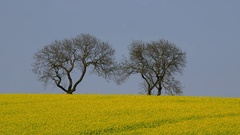 TREES YELLOW RAPESEED FIELD SCARBOROUGH YORKSHIRE Stock Footage