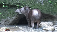 Brazilian Tapir standing in salt lick looking around and sniffing Stock Footage