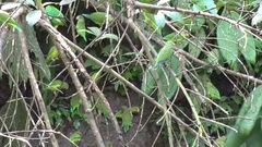Cobalt-wingded Parakeets sits in tree and eat earth on rainforest mudd wall Stock Footage