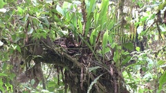 Epiphyte and moss grow on tree in cloud forest Stock Footage