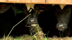 Cows on the farm eating hay and feed in the summer Stock Footage