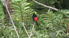 Paradise Tanager sits in rainforest canopy looking around and fly away Stock Footage