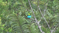 Paradise Tanager sits in rainforest canopy cleaning feathers Stock Footage