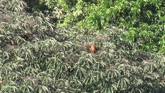 Red Howler Monkey family feed in rainforest canopy on a sunny day Stock Footage
