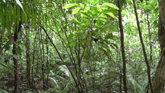 Owl-eye Butterfly perched on a branch in the rainforest zooming in Stock Footage