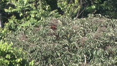 Red Howler Monkey feed in rainforest canopy on a sunny day Stock Footage
