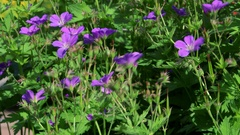 GERANIUM SYLVATICUM MAYFLOWER FLOWER ENGLAND Stock Footage