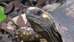 Yellow-footed Tortoise lay on rainforest floor breathing heavely close up Stock Footage