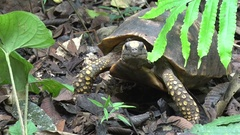 Yellow-footed tortoise walking on rainforest floor Stock Footage