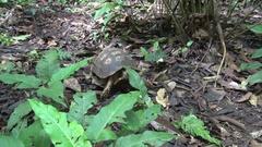 Yellow-footed tortoise walking on Amazon rainforest floor Stock Footage