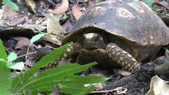 Yellow-footed Tortoise lay on rainforest floor moving head Stock Footage