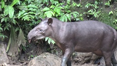 Brazilian Tapir walking in muddy salt lick and sniff and licking nose Stock Footage