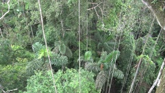 Liana hanging down from Amazon rainforest tree Stock Footage