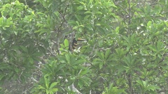 Many-banded Aracari sits hidden behing leaves in rainforest canopy Stock Footage