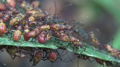 Green leaf covered in red and yellow beetles in Amazon rainforest Stock Footage