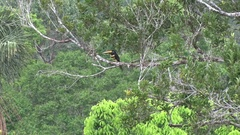 Many-banded Aracari sits in the tree tops in rainforest canopy looking around Stock Footage