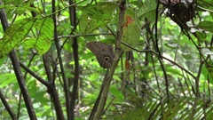 Owl-eye Butterfly perched on a branch in the Amazon rainforest Stock Footage