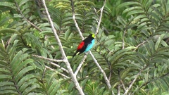 Paradise Tanager move in Amazon rainforest canopy Stock Footage